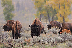 Bison_Grazing-1.jpg