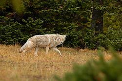 D200_060_Coyote_walk.jpg