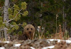 D200_446_Grizzly_Cub.jpg