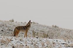 D200_798_Coyote_Howl.jpg