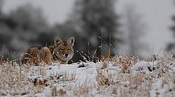 D200_875_Coyote_Look.jpg