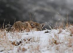 D200_889_Coyote_Stare.jpg