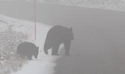D200_900_Bears_on_the_road.jpg