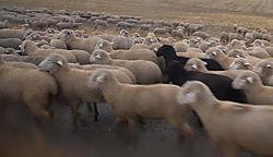 D200_926_Black_Sheep.jpg