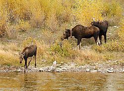 DSC_0211_Moose_Family_By_Water.jpg