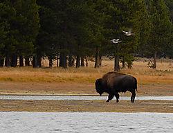 LexarCARD_DCIM_100ND200_DSC_0087_Buffalo_Birds.jpg