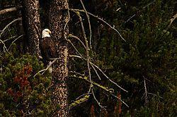 bald_eagle_2.jpg