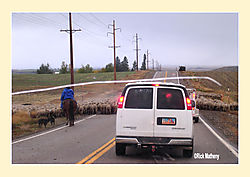 Sheep-on-Road2.jpg