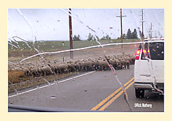 Sheep-on-Road3.jpg