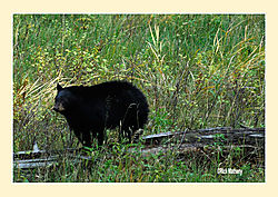 Black-Bears2.jpg