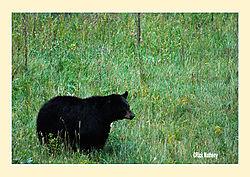 Black-Bears4.jpg