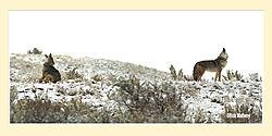 Coyote-Pano.jpg