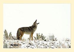 Coyote1a.jpg