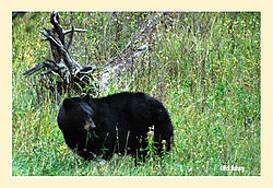 Grazing-Black-Bear.jpg