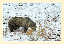 Grazing-Grizzly.jpg