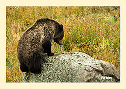 Grizzly2eC.jpg
