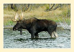 Moose2f.jpg