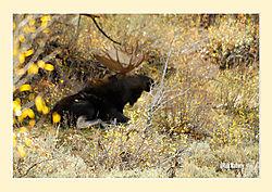 Sleeping-Moose1.jpg