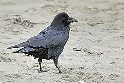 AJE-20070922-202201-0738_-_Black_Bird.jpg