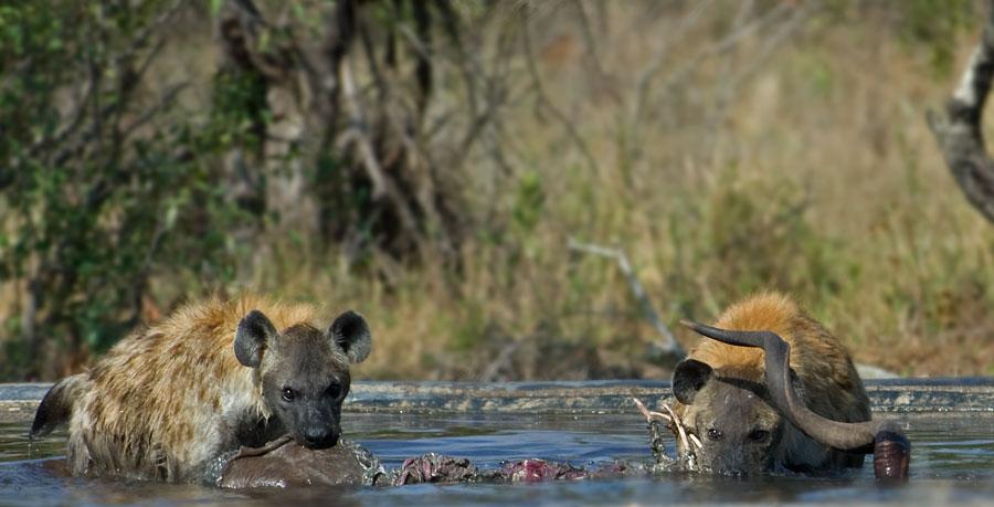 Kruger_hyenas