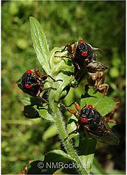 Cicadas_sm.jpg
