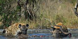 Kruger_hyenas.jpg