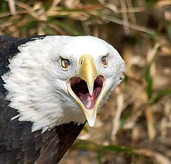 Screaming_Eagle.jpg