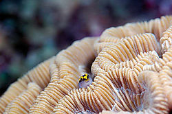 Sharknose-Goby.jpg