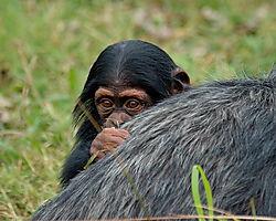chimp_baby.jpg