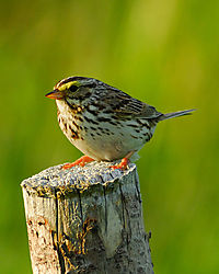 savana-sparrow-2_1.jpg