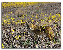 Coyote---Wldflowers.jpg