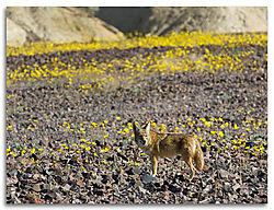 Coyote2-_DS_.jpg