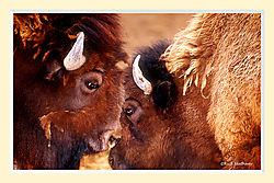 Buffalo1NPS2M.jpg