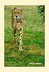 Cheeta15.jpg