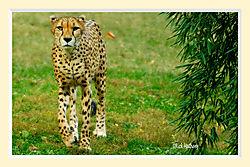 Cheeta16M.jpg