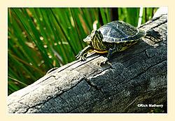 Florida-Red-Belly-Turtle.jpg