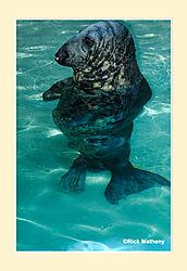 Gray-Seal2.jpg