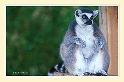 Lemur1S2M.jpg