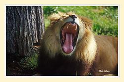 Lion21M.jpg