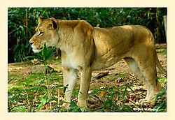 Lion23.jpg