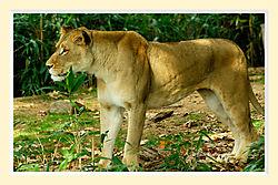Lion23cM.jpg