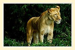 Lion25M.jpg