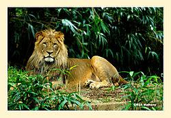 Lion26.jpg