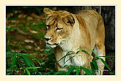 Lion27M.jpg