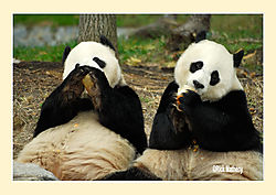 Pandas5.jpg