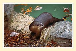 River_Otter2S2M.jpg