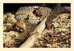 Sleeping-Cheetas1.jpg