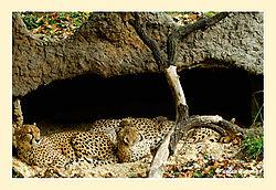 Sleeping-Cheetas2.jpg