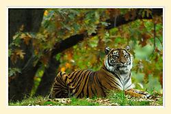 Tiger4M.jpg