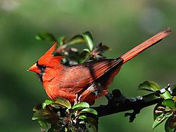 Northern_Cardinal_21.jpg